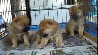 http://shiba.breeders.jp/