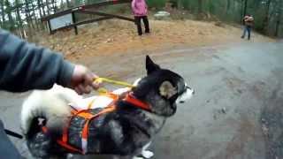 2013 Yankee Siberian Husky Club Rig Races @ Freetown State Park