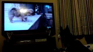 Siberian Husky Watches Tv Too Cute Animal Planet