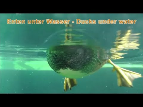 enten unter wasser ducks under water zoo karlsruhe. Black Bedroom Furniture Sets. Home Design Ideas