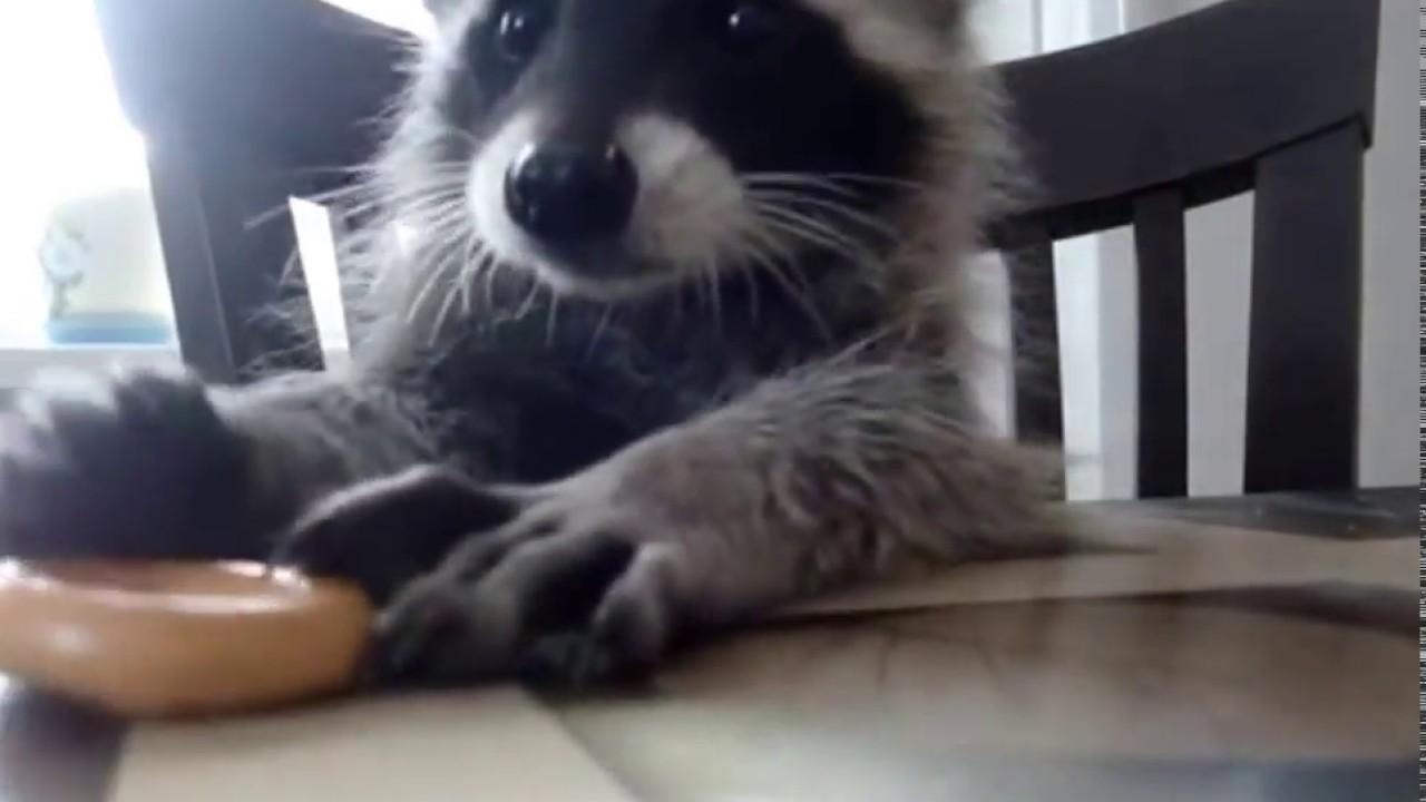 Funny raccoon eats at ...R Is For Raccoon
