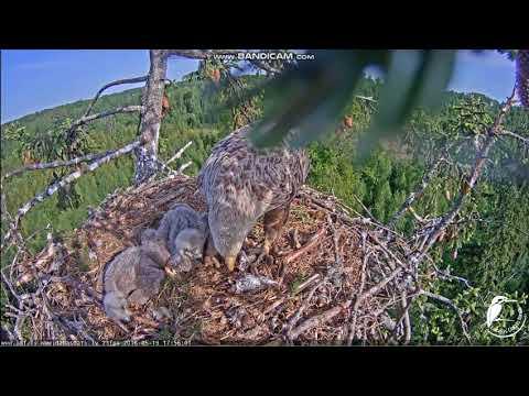 White-tailed Eagles Latvia nest 2018 05 19 Robis is feeding 17:48