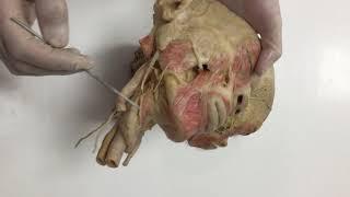 Anatomy Lab 5 pt 1