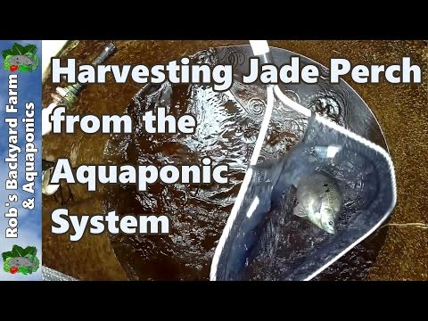 Harvesting Jade Perch from the Aquaponic System Using iki Jime