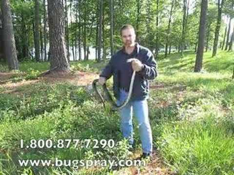 Giant 6 foot long Black Rat Snake