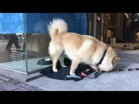 Pomsky 柴犬 (しばいぬ)Shiba Inu/ Finnish Spitz/ Samoyed-like Dog - cutest I've seen in Wellington '19