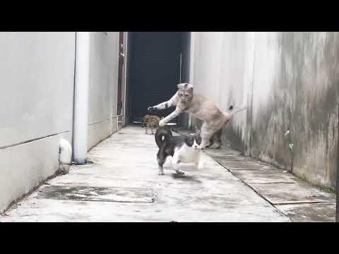 Ready Set Go!😹😹😹 #Funny Cat MyRubyjumping Music       Fatinista Benticarl