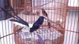 Adu Ocehan Gacor, Burung Murai Batu white rumped shama1