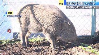 埼玉・住宅街の畑にイノシシ 警察ら取り囲む(19/12/04)
