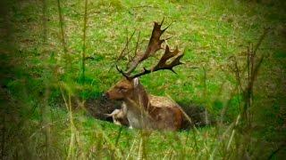 Hunting Fallow deer in New Zealand # 151