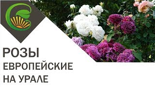 Европейские розы в садах Урала