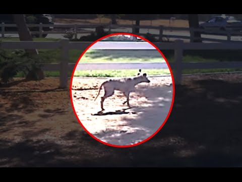 5 Mysterious Chupacabra Sightings Caught On Tape - YouTube