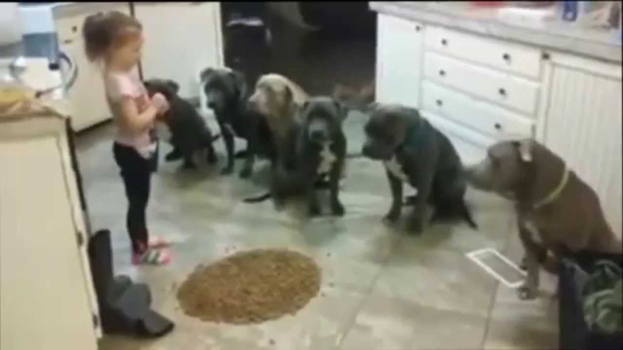 4 year old little girl feeding and controlling 6 pitbulls youtube