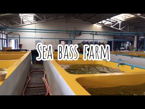 Sea Bass Farming🐟