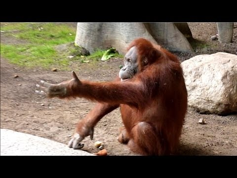 Feeding Sumatran Orangutan At Toronto Zoo