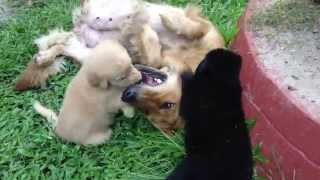 6 Week Old German Shepherd/golden Retriever Mix Puppies Playing With Mom(dumaguete)