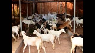 Danavunkal Goat Farm(Biggest goat farm kerala,best malabari goat farm kerala)