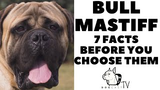 Before you buy a dog  BULLMASTIFF  7 facts to consider!  DogCastTV!