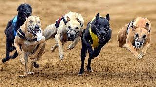 10 Самых быстрых пород собак