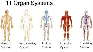Organsysteme des Körpers, Quizspiel