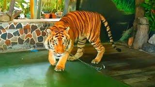 🐯 Зоопарк #1. Тигр. Видео для детей. Бангкок Таиланд