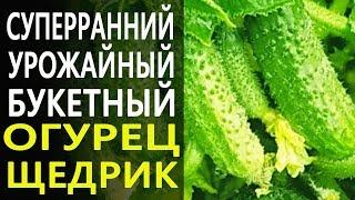 Суперранний урожайный Огурец Щедрик! До 7 килограмм с одного растения!