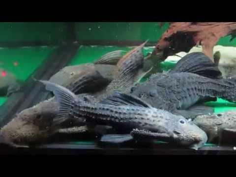 Pseudacanthicus Sp L025 Doovi