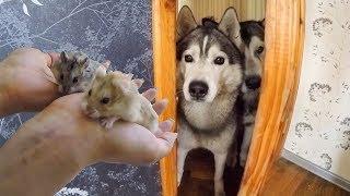 СТРЕСС! Хаски и хомяки знакомятся. Собаки и джунгарики в одной квартире.
