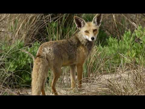 jackal sound