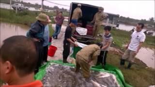 Harvesting of farmed black carp in Vietnam