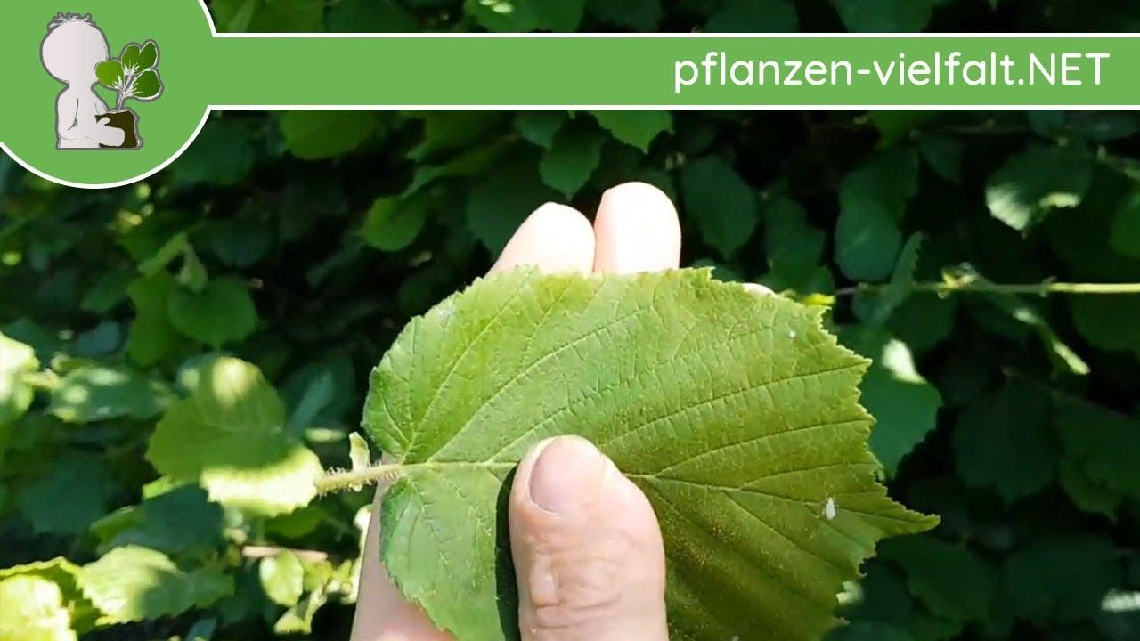 Geliebte Gemeine Hasel (Haselnuss) - Blatt/Blätter - 09.05.18 (Corylus @DS_83
