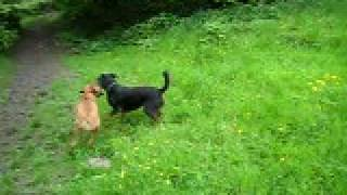 Bullmastiff Puppy And Rottie/lab Cross At Play