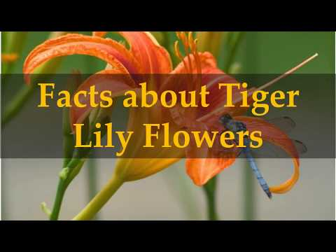 Facts About Tiger Lily Flowers