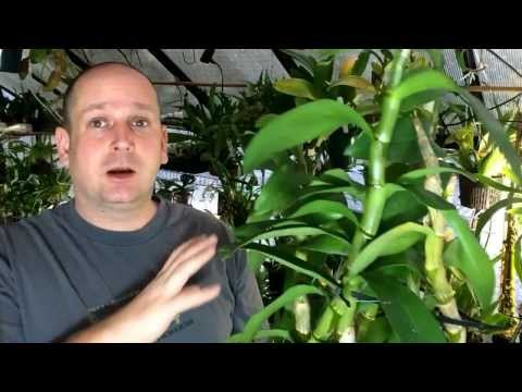 Orchid Care: Reblooming Dendrobium nobile Orchids & Dendrobium keiki's - A story of two Brothers