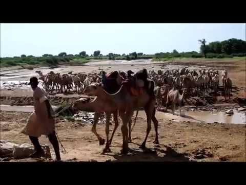 Dromedairs, Guidimaka, Mauritania