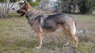 German Shepherd Tribute And History