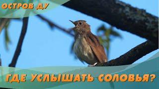 Песня соловья! Где услышать, как поет соловей? – Соловьиные экскурсии в Беларуси | Остров Ду