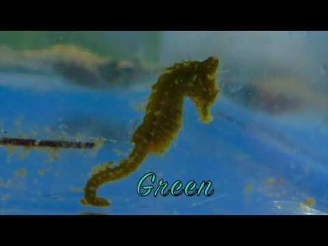 Dwarf Seahorses