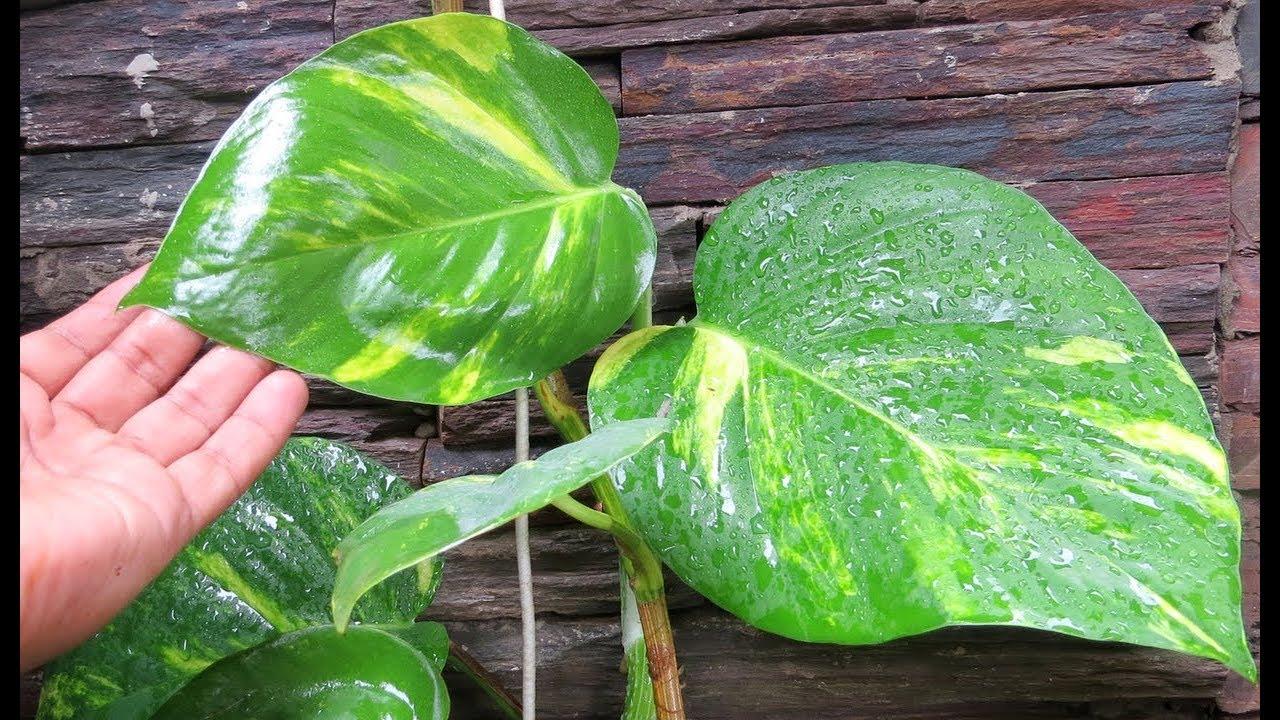 New Formula To Grow Leaves On Money Plant Pothos