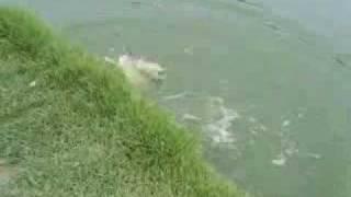 ตกปลาบึก