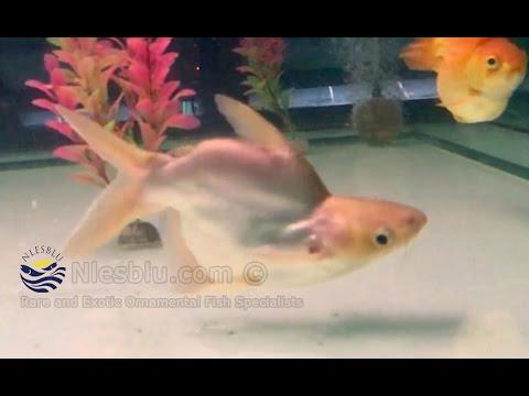 Shortbody Pangasius Gigas (Giant Mekong Catfish)