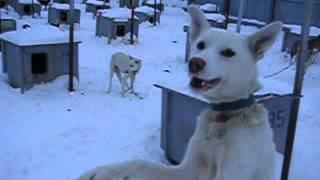 2003.12.21 イエローナイフ 犬ぞり犬小屋.