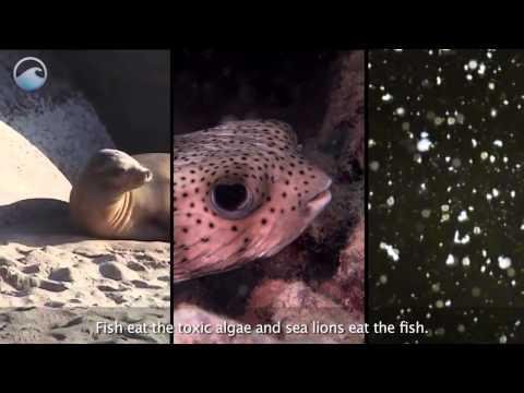 Sea Lion Sickness