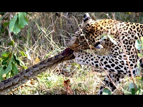 2 Leopards VS 1 Huge Python