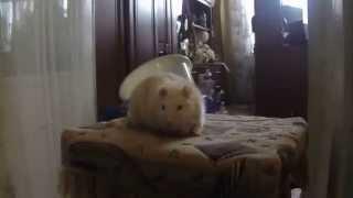 Купание крысы в ванной, подводная съемка на GoPro hero 3