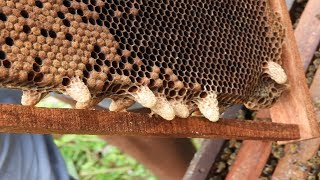 How to cut natural queen cell| Natural queen rearing| Cuting queen cell