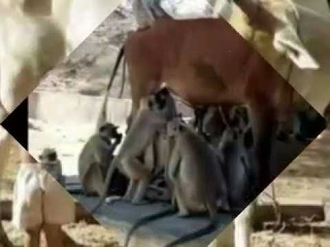Cow Feeding Milk To Monkeys