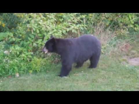 Da! Bear of Westford, MA