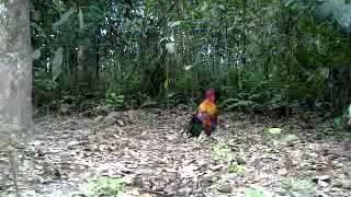 Pikat ayam hutan e5..2