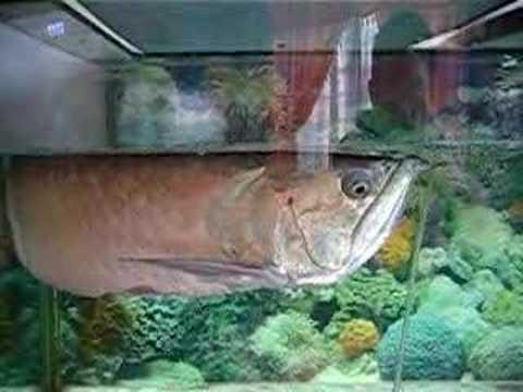 Biggest Golden Arowana Tank (Scleropages formosus ... |Giant Arowana
